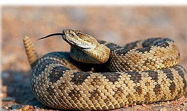 """Promotional graphic for 'Rattlesnakes in Valley Center."""" Courtesy of Friends ..."""