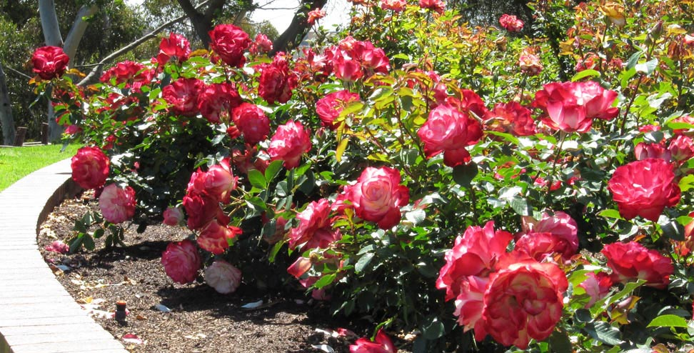 volunteers needed for balboa park rose garden march 21 2017 kpbs - Most Beautiful Rose Gardens In The World