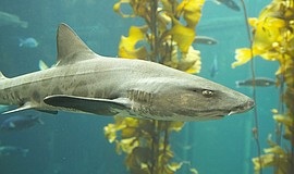 Promotional photo of a leopard shark. Courtesy of Scripps Institution of Ocea...