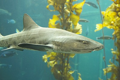Promotional photo of a leopard shark. Courtesy of Scripps Institution of Oceanography.