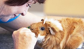 Promotional photo of a friendly guinea pig with a volunteer. Courtesy of San ...