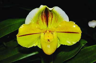 Paph Alex Szabo 'Huntington' (Pavarotti x Ruth Curran) B-...