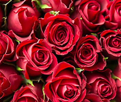 Promotional photo of roses for the Valentine's Day dinner...
