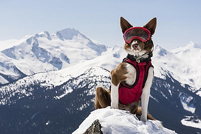 Whistler Promotional photo of Henry, avalanche rescue dog...