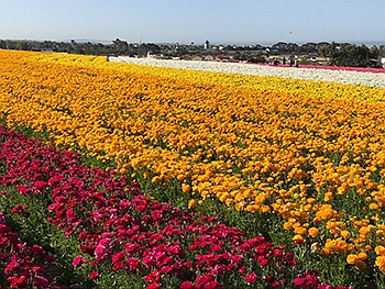 Promotional photo for The Flower Fields at Carlsbad Ranch