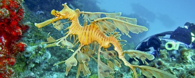 Promotional photo of a seahorse for Seadragons & Seahorse...