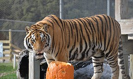 Promotional photo for Pumpkin Bash At Lions Tigers & Bear...