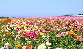 Promo graphic for The Flower Fields At Carlsbad Ranch®