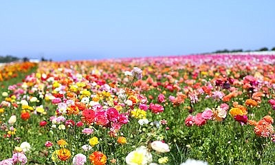 """Promotional photo for """"The Flower Fields At Carlsbad Ranc..."""