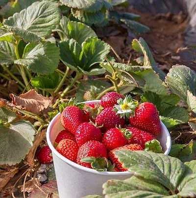 """Promotional photo for """"Carlsbad Strawberry Company Is Now..."""