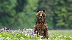 A grizzly bear from