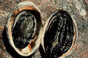 Black Abalone Disappearing Off California Coast