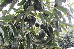 Tease photo for Avocado Thieves Hit San Diego County Growers