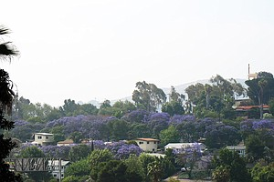 Growing San Diego's Urban Forest