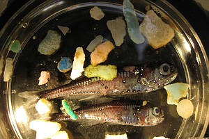 Tease photo for Garbage Patch Study Finds Plastic In Pacific Ocean Fish
