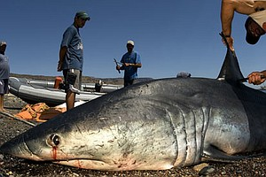 Tease photo for Bill To Ban Shark Finning In Calif. Moves To Full Senate