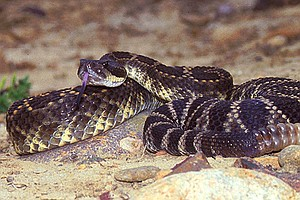 Tease photo for Rattlesnakes Common Year-Round In San Diego County