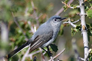 Tease photo for Groups File Suit Over California Gnatcatcher