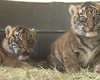 Tease photo for Tiger Cubs Get Hands-On Treatment