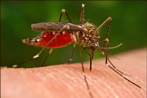 Algae Based Malaria Vaccine Advances In Testing