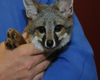 "Navy Rescues Endangered Baby Fox Named ""Garth"""