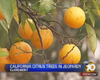 Tease photo for Local Official Warns Of Citrus Tree Disease
