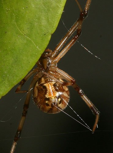 Brown Black Widow Brown Widow Spiders Pu...