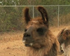 Tease photo for San Diego Lawyers Provide Refuge To 10 Llamas