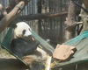 Zoo's Panda Cam To Show Live Video Of New Panda Cub