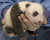 San Diego Zoo Announces Baby Panda Is A Boy