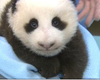 Baby Panda At San Diego Zoo Opens His Eyes