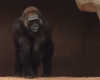Tease photo for San Diego Home To One Of World's Oldest Gorillas