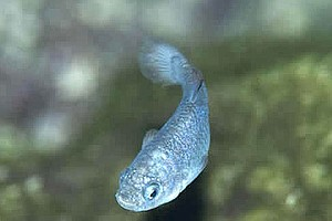 Tease photo for Biologists Fight Battle To Save Endangered Devils Hole Pupfish