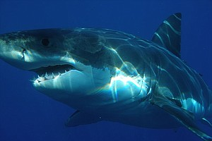 California To Consider Listing Great White Shark As Endangered Species