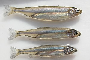 Tease photo for Delta Smelt Deaths Means Less Water for Central and Southern California