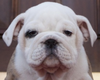 Meet The Marines' Newest Mascot - Bulldog Puppy 'Chesty'