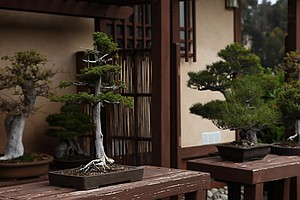 Tease photo for The Case Of The Stolen Bonsai Trees