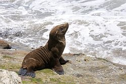 More Sea Lions Turning Up On Local Beaches