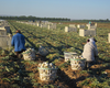 New Mexico Farmworkers May Be Victims Of Illegal Pay Practices