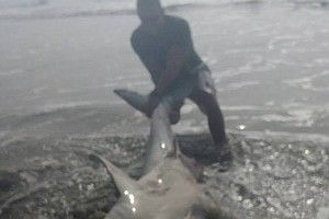 Tease photo for (Video) Great White Shark Caught By Marine Veteran Near Camp Pendleton