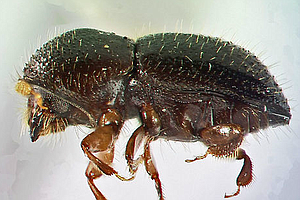 Tease photo for San Diego Avocado Growers Brace For New Invasive Beetle