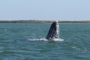 Tease photo for Conjoined Grey Whales Discovered in Baja California Lagoon