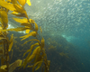 Fukushima Fallout: San Diego State Researchers Monitoring Sea Kelp ...