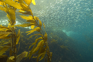 Tease photo for Fukushima Fallout: San Diego State Researchers Monitoring Sea Kelp for Radiation Exposure