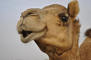 Tease photo for Camp Pendleton Marines Rescue Camel In Afghanistan