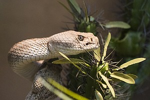 Do's And Don'ts When San Diego's Rattlesnake Season Arriv...