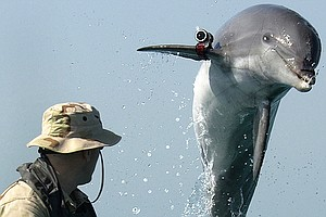 Tease photo for Navy Dolphin Trainer Drowns In San Diego Bay