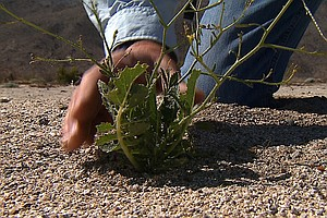 Tease photo for Anza-Borrego Wild Flowers Threatened By Invasive Plants