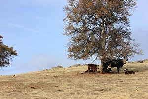 Tease photo for Brown Pastures Force Some San Diego Ranchers To Sell Off Cattle
