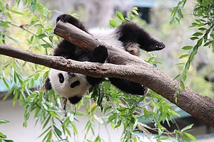 San Diego Zoo Makes Bamboo Cake For Panda's Second Birthday